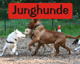 KursJunghunde